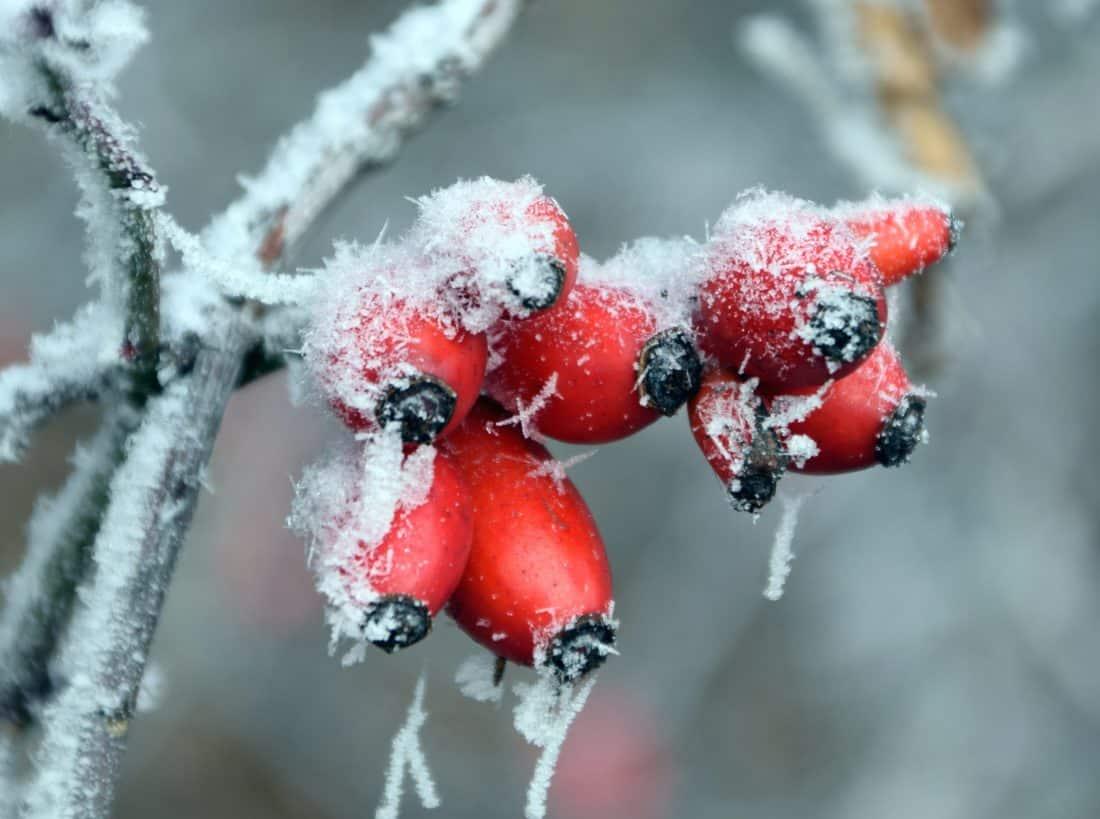arbuste, rouge, hiver, glace, détail, macro, givre, neige, branche, nature, berry