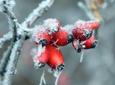 keř, červená, zima, LED, detail, makro, mráz, sníh, větev, příroda, berry