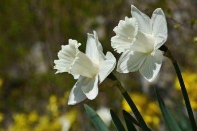 narcissus, white flower, fragrance, summer, petal, pistil, nature, flora, leaf, garden, herb