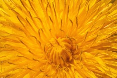 flower, yellow, dandelion, nature, flora, herb, plant, petal