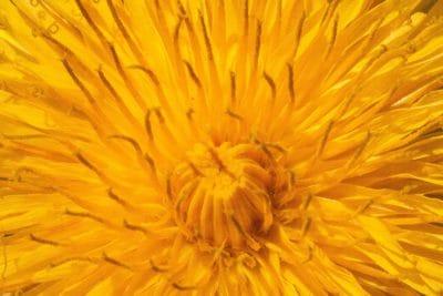fleur, jaune, pissenlit, nature, flore, herbe, plante, pétale