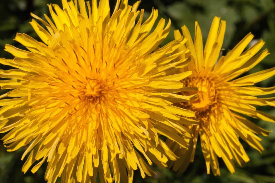 flower, yellow, dandelion, summer, macro, nature, flora, herb, plant, blossom