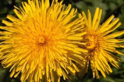 fleur, jaune, pissenlit, été, macro, nature, flore, herbe, plante, fleur