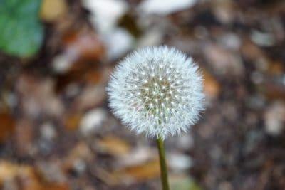 natura, pianta, erba, fiore, giardino, estate, organismo, semi, fiori, dente di Leone, fiore, flora