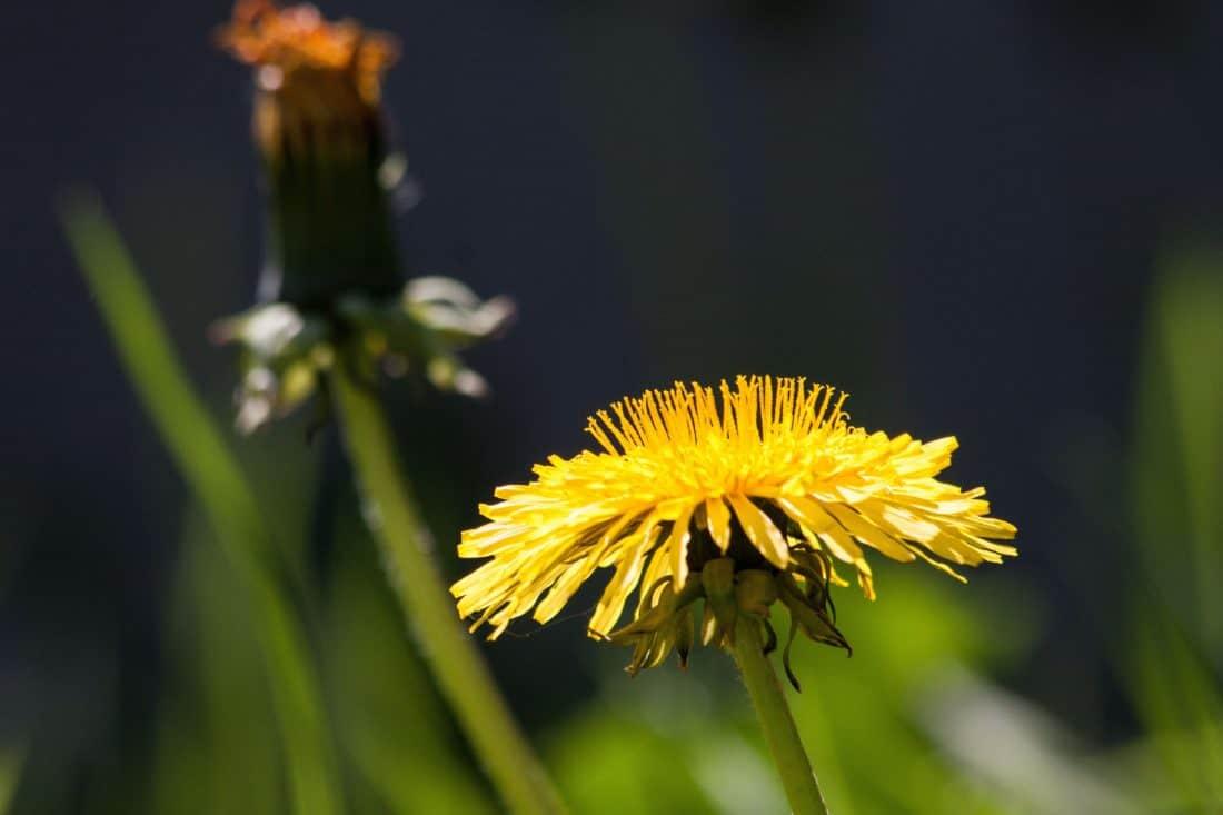 nature, flower, flora, yellow, meadow, herb, grass, dandelion, plant, blossom
