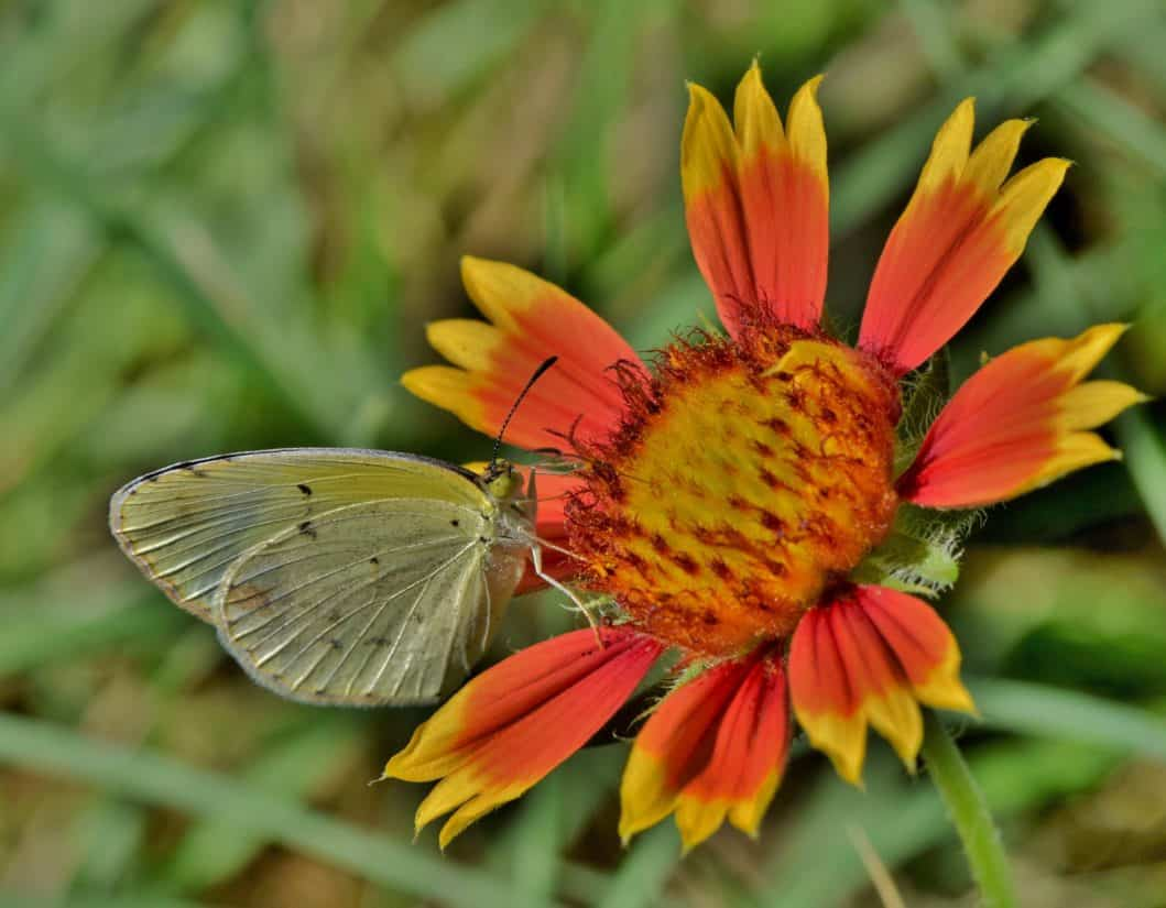 butterfly, macro, animal, wildflower, insect, nature, flower, summer, wildlife