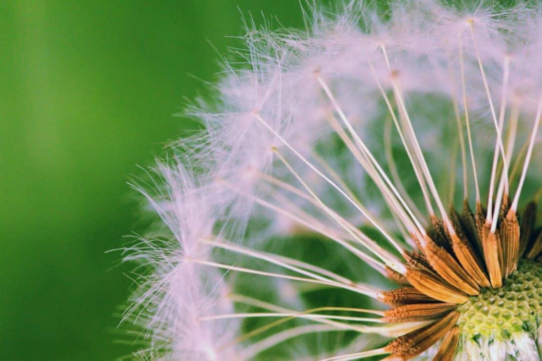 natura, dente di Leone, seme, macro, estate, flora, fiore, erba, pianta