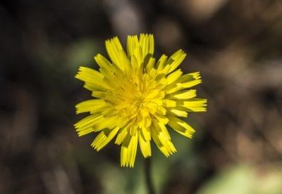 natura, fiore, flora, erba, pianta, giallo, macro, dente di Leone, fiore