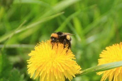 pollination, nature, insect, animal, summer, bumblebee, dandelion, flora, macro