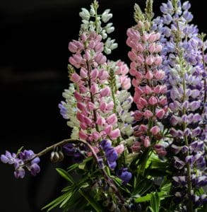 Blume, Natur, Flora, Lupine, Garten, Blütenblatt, Flieder