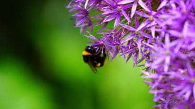 nature, insect, macro, summer, pollination, herb, plant, flower, bumblebee