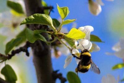 Bumblebee, natura, macro, dettaglio, ape, fiore, albero, ramo, flora, foglia, insetto