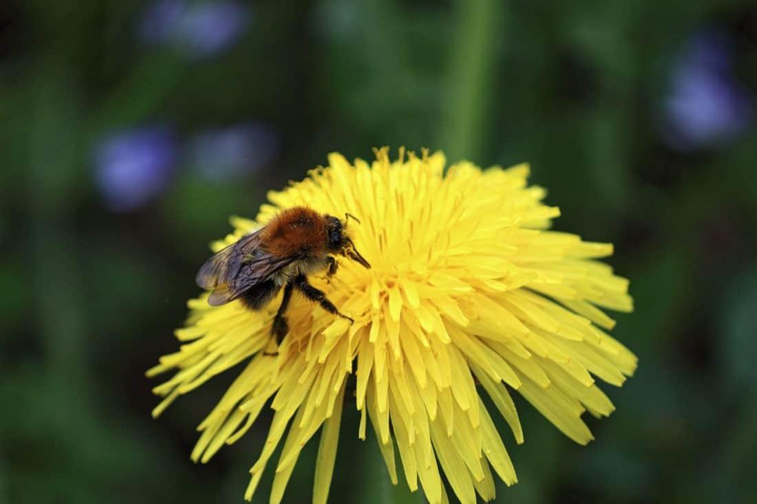 nature, bee, flower, insect, pollen, summer, petal, flora