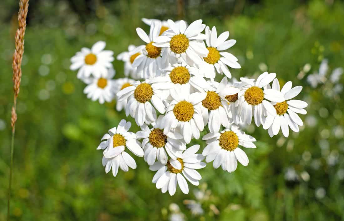 chamomile, meadow, macro, nature, flower, flora, summer, herb, plant, blossom