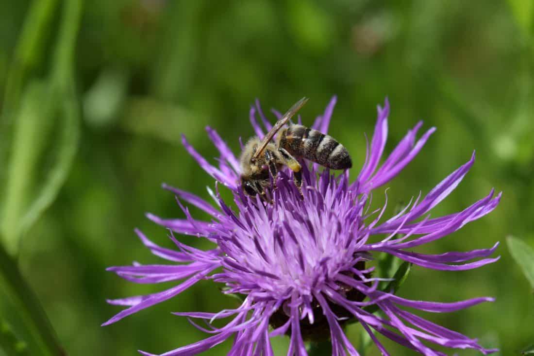 Imagen gratis naturaleza cardo flor verano flora for Ahuyentar abejas jardin