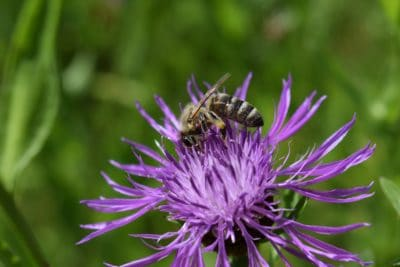 nature, thistle, flower, summer, flora, garden, insect, bee