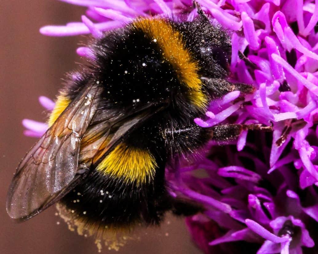 macro, natura, ape, insetto, dettaglio, bombo, miele, wildflower