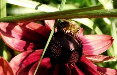 abeille, insecte, détail, macro, fleur rouge, herbe, nature, fleur, plante