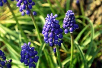 Hyazinthe, Laub, Makro, Natur, Garten, Flora, Sommer, Blume, wilden Hyazinthen, Rasen