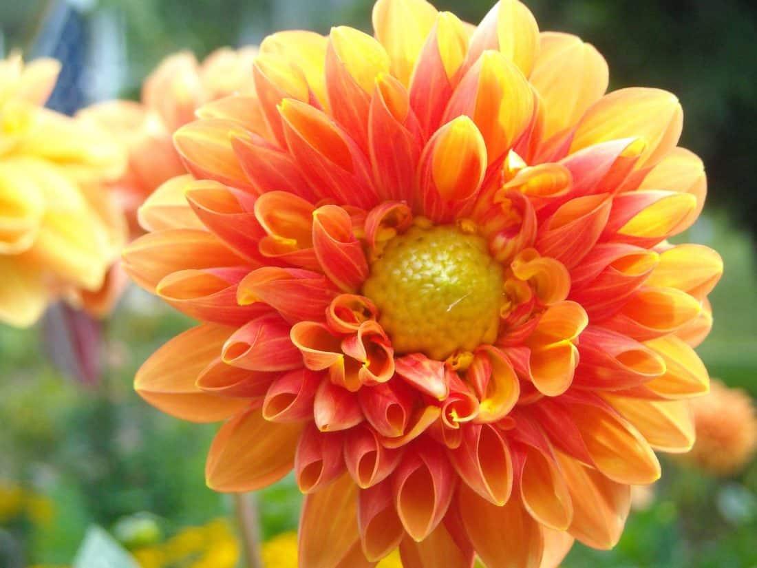 Dahlia, natur, växter, trädgård, röd blomma, sommar, blad, kronblad, makro, ört