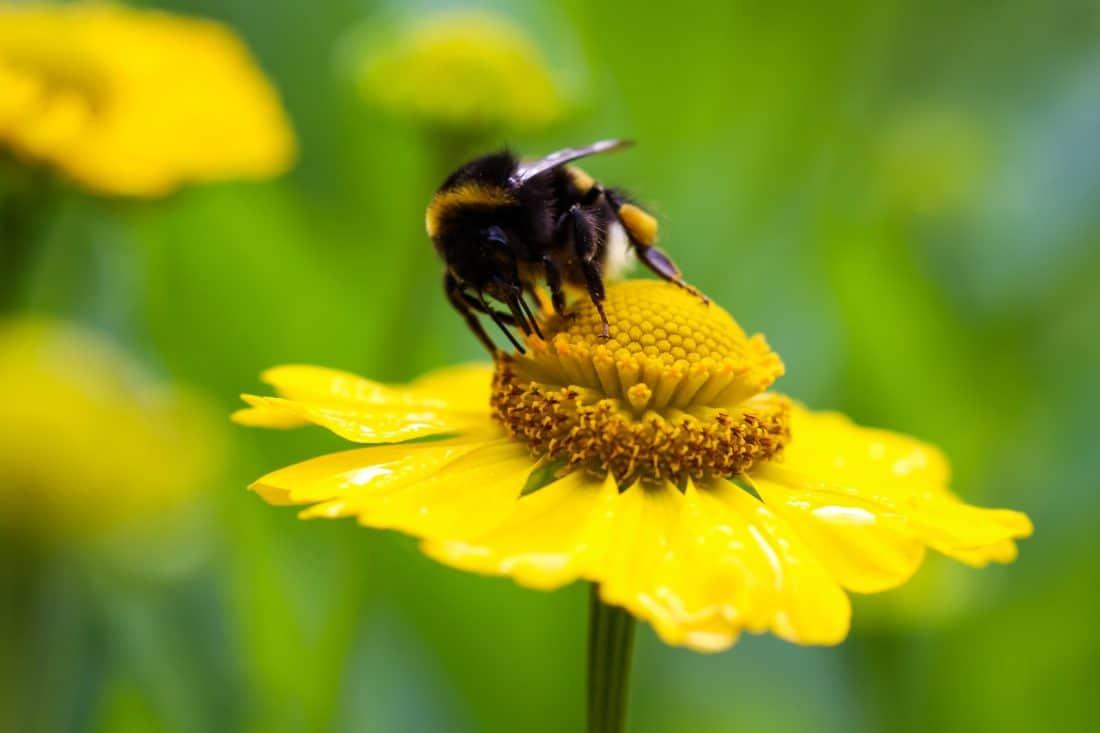 Bumblebee, macro, dettaglio, natura, estate, flora, insetti, artropodi
