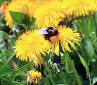 polinización, macro, naturaleza, diente de León, flor, abejorro, verano, insectos, flora