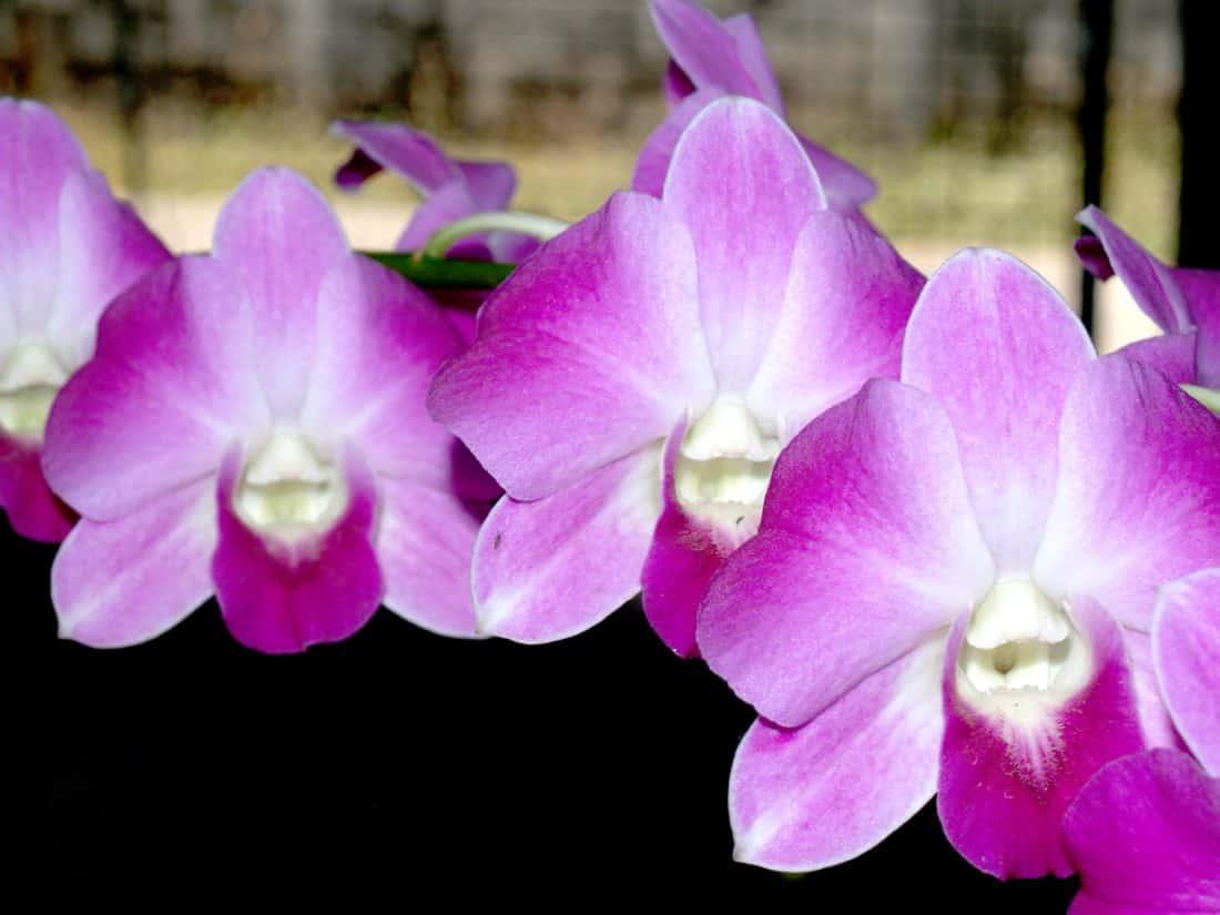 orhideja, makronaredbe, pelud, tučak, cvijet, latica, floru, priroda, prekrasan, vrt, biljke