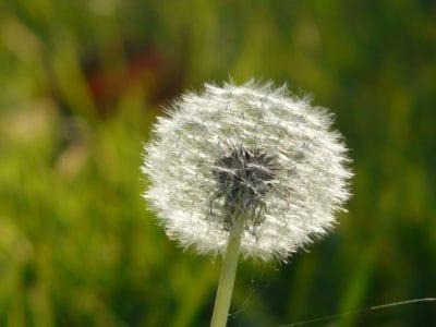 dente di Leone, erba, macro, Prato, erba, natura, estate, fiore, flora, campo