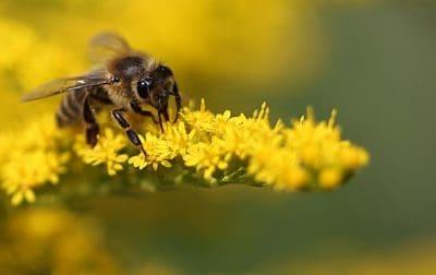 natur, bee, insekt, honung, pollen, blomma, makro, leddjur