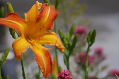 nature, fleurs, flore, feuille, pistil, été, jardin, plante, lily