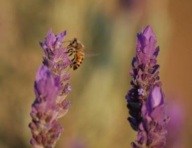 bee, lavender, insect, nature, pollination, flower, summer, flora, insect, herb