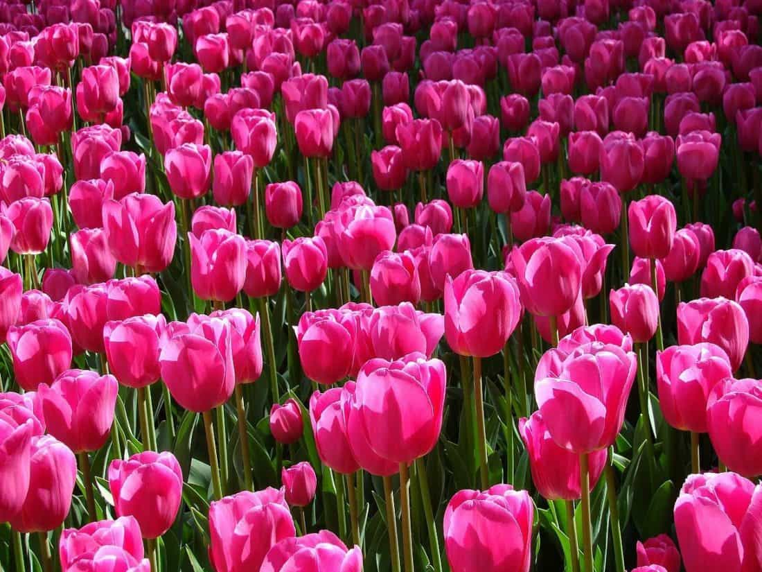 Lale, doğa, renkli, Bahçe, flora, çiçek, yaprak, kırmızı lale, bitki