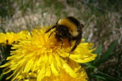 natur, bee, insekt, blomst, humle, makro, flora, sommer, pollen