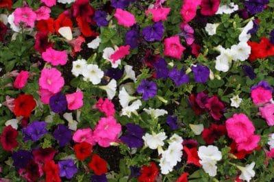 Petunia, thảo mộc, phấn hoa, Hoa, thực vật, vườn, thiên nhiên, lá, cánh hoa, mùa hè