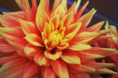 Dahlia, priroda, crveni cvijet, flora, makronaredbe, pistill, pelud, ljeto, latica, biljka