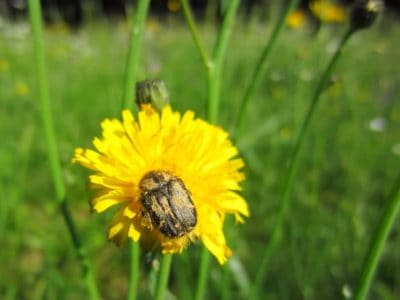 beetle, insect, macro, detail, dandelion, nature, summer, grass, field, flower, herb