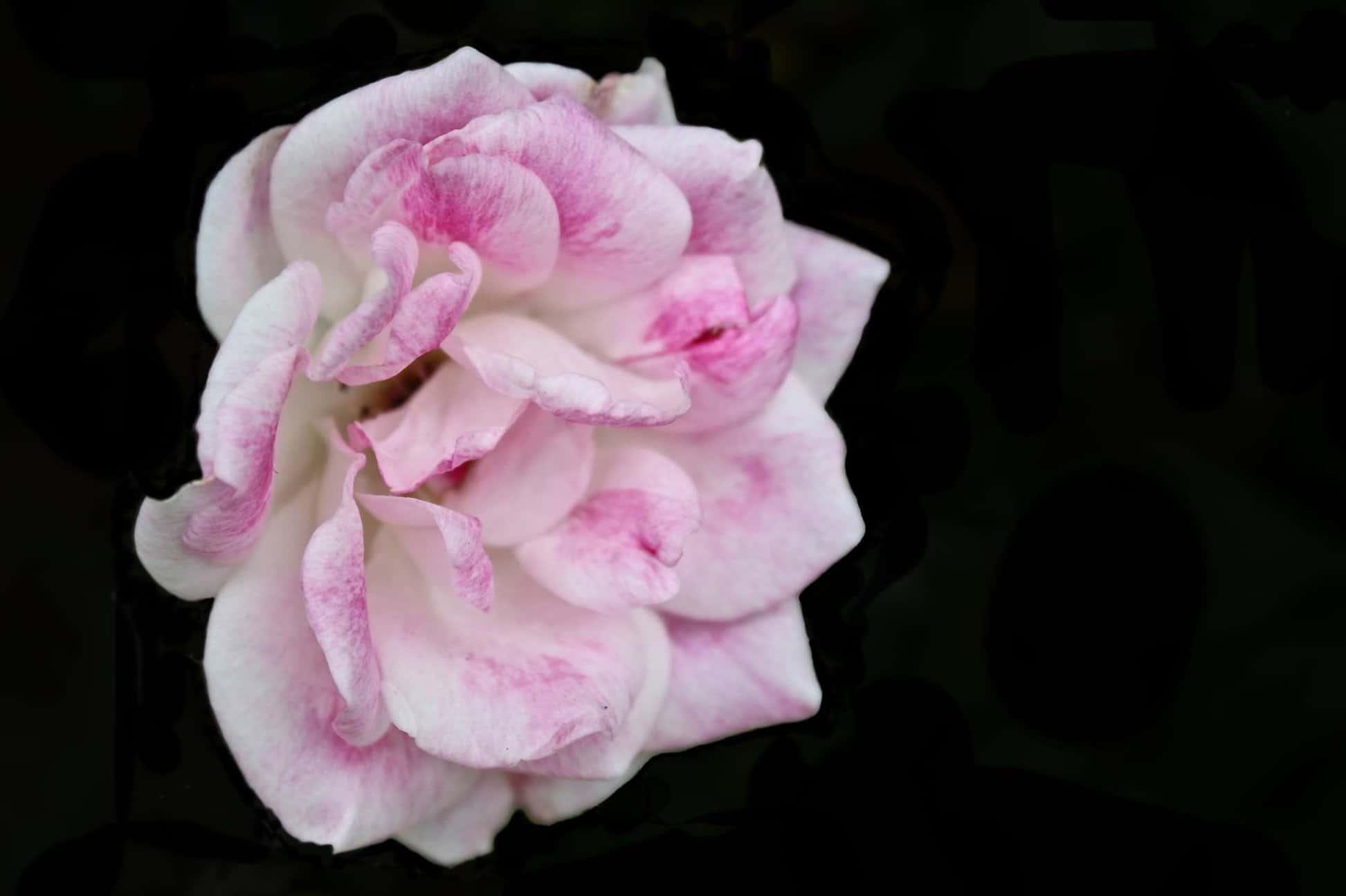 Free Picture Flower Macro Detail Petal Pink Camellia Plant