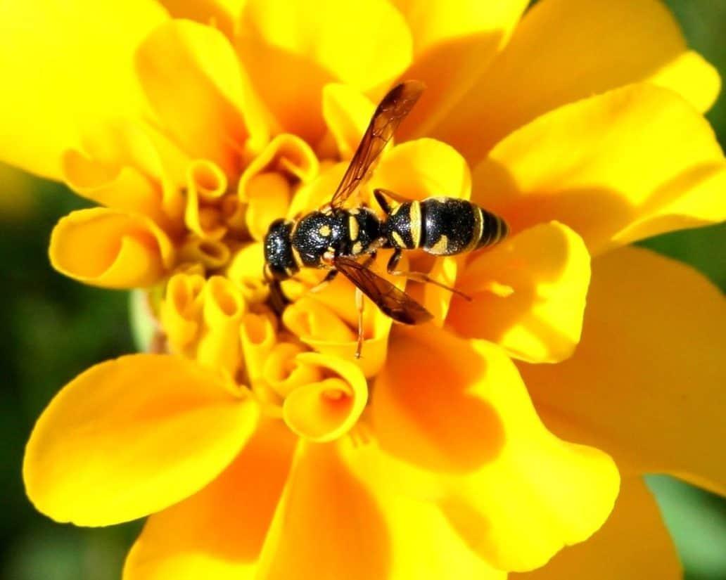 insecte, nature, pollen, fleur, guêpe, macro, détail, zoologie, été, pollinisation