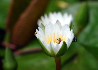 macro, lotus, flower, leaf, water lily, nature, plant, blossom, petal, garden