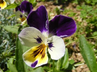 flower, nature, leaf, flora, garden, lilac, pansy, petal, macro, detail