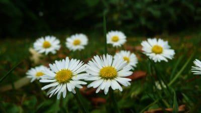 nature, flower, flora, summer, grass, chamomile, vegetation