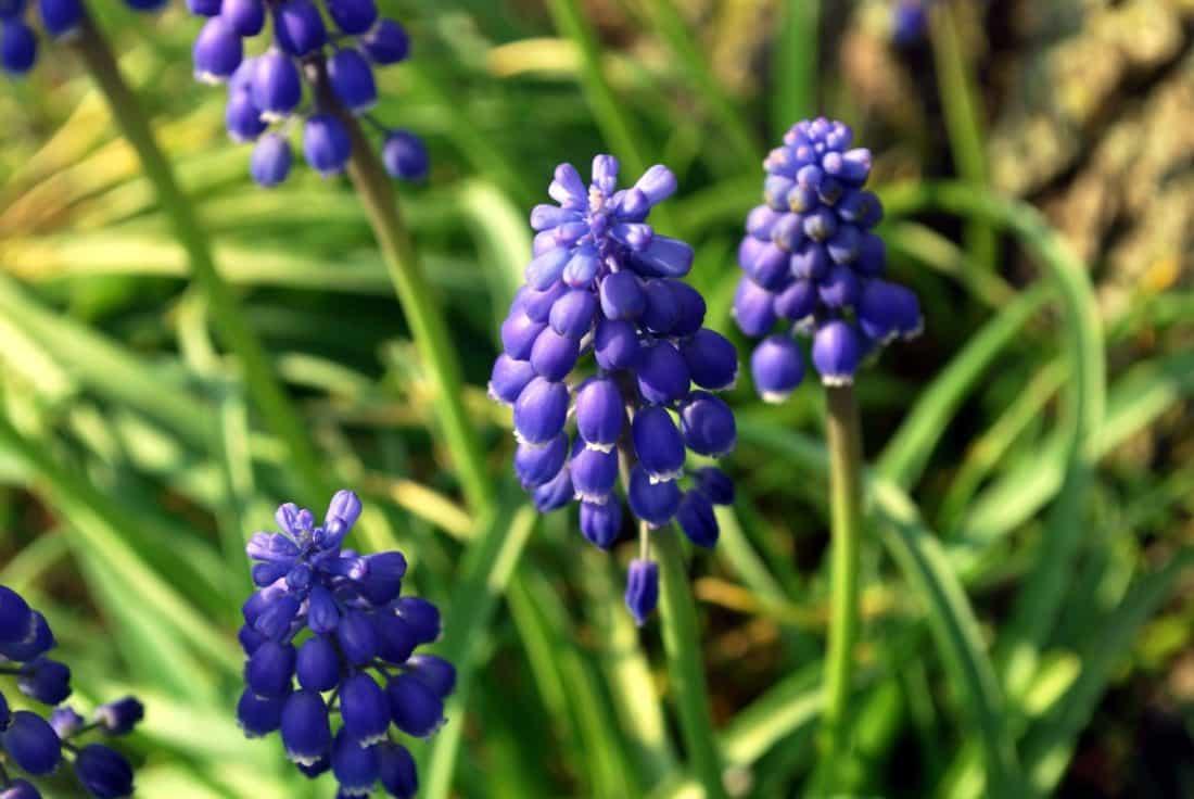 Wild-Hyazinthe, Natur, Garten, Flora, Sommer, Blume, Blatt, Pflanze, Kraut