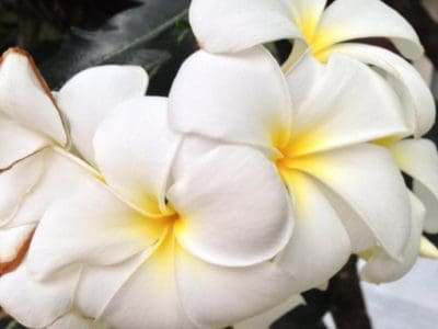 white flower, macro, detail, pistil, pollen, plumeria, petal, flora, nature, plant