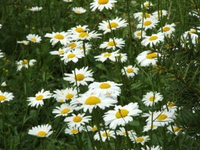 flower, chamomile, nature, summer, flora, garden, field, grass