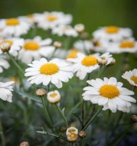 nature, fleurs, camomille, été, flore, champ, herb