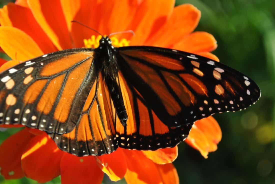 farfalla, macro, colorato, dettaglio, insetto, natura, invertebrato, estate, fiore