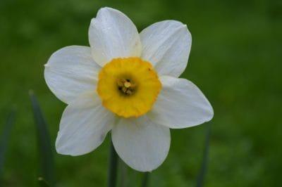 fleur, flore, nature, jardin, macro, détail, Narcisse, plantes, fleurs