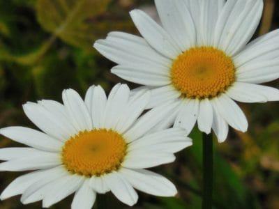 flora, nature, flower, garden, summer, chamomile, blossom