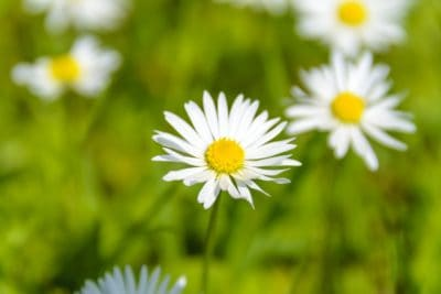 nature, flora, summer, vegetation, herb, flower, grass, field, chamomile