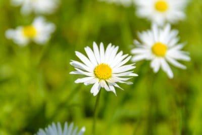 natura, flora, vegetazione, estate, fiore, erba, campo, camomilla
